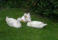 ducks front lawn.JPG