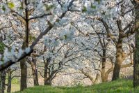 Cherry orchard in bloom.jpg