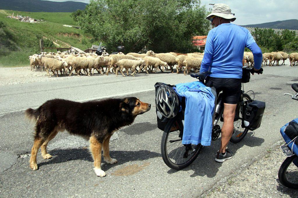 shepherd dogs